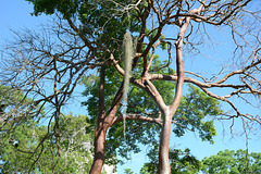 Guatemala, Red Bark Trees in the Park of Tikal