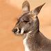 Portrait Red Kangaroo