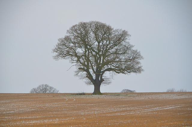 Lone Tree, Bishopswood