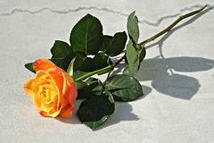 Eine Rose für das Samstags-Thema