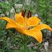 Lis orangé (Lilium bulbiferum), Sentier botanqiue du Bez, Briançonnais (France)