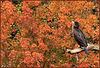 Un Cormoran, dans le rouge