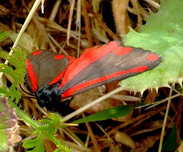 Tyria  jacobacaeae, il me semblait bien...