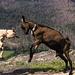 las cabras son muy testarudas