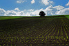 Einsamer Baum auf weiter Flur - Lonely tree in a wide open field