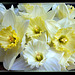 Delicate Daffodils Blossoms... ©UdoSm