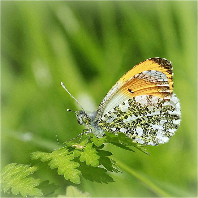 fil(et) à papillons - Page 11 44720912.54e17ad8.640