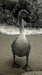 Half-Ugly Duckling