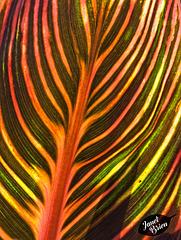 341/366: Glorious Striped Hosta
