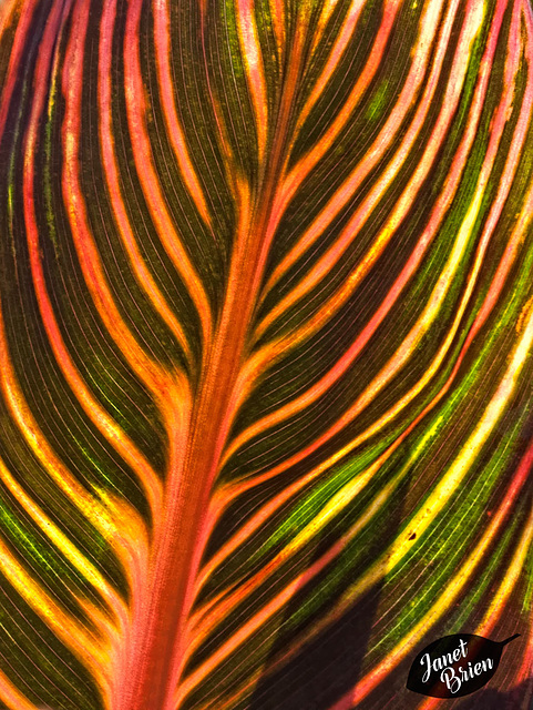 341/366: Glorious Striped Canna Leaves
