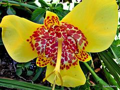 Lily in Hamilton Gardens.
