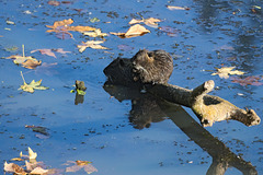 Muskrats on a log