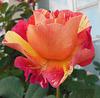 Rose d'Octobre / October rose