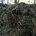 racines poussant le long de la pierre