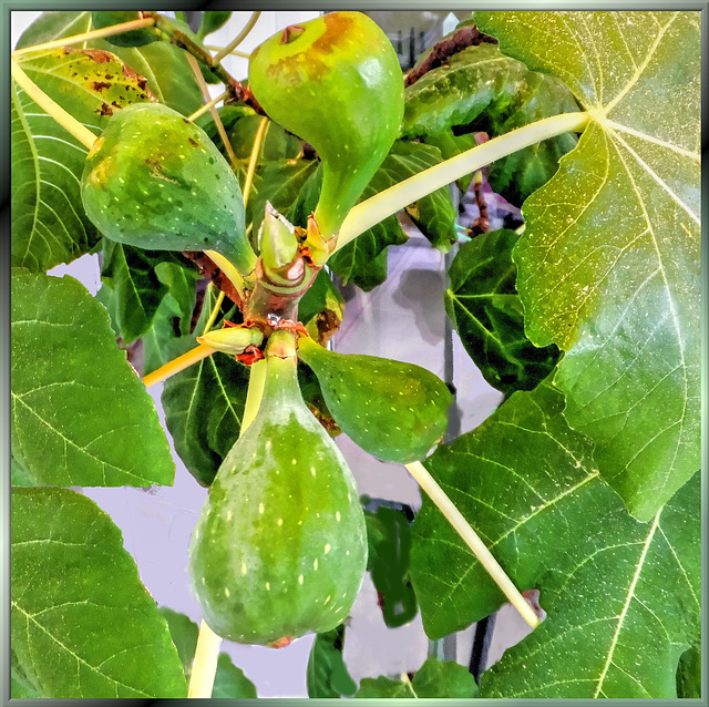 Climate change: Figs from the Allgäu. ©UdoSm