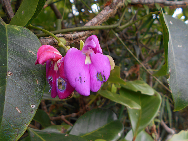 DSCN5302 - canavalia ou feijão-de-porco Canavalia rosea, Fabaceae Faboideae