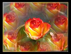 Multivision - Rose... ©UdoSm