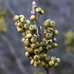 Western Poison Ivy Berries