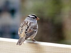 White-crowned Sparrow, Tadoussac, Quebec