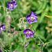 Geranium phaeum subsp. lividum