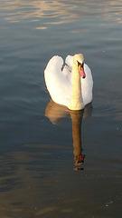 Swan reflected