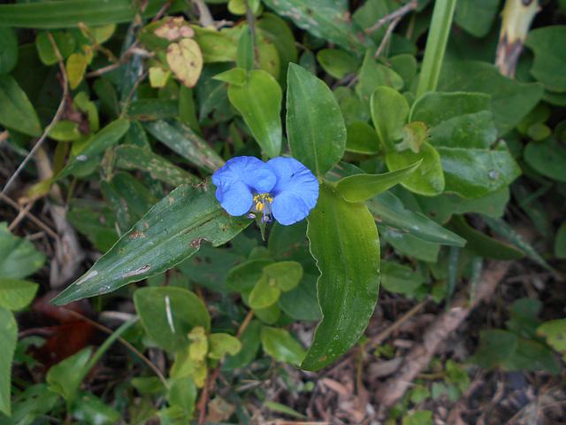 DSCN5305 - erva-de-santa-luzia Commelina erecta, Commelinaceae
