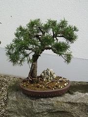 Landschaftsbaum