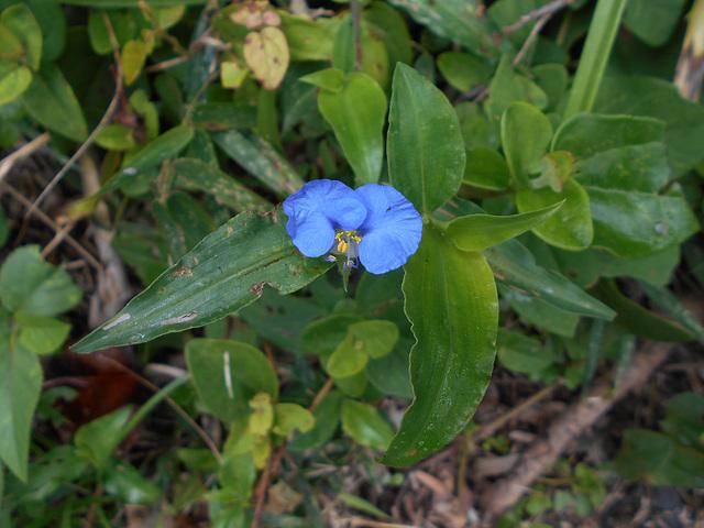 DSCN5306 - erva-de-santa-luzia Commelina erecta, Commelinaceae