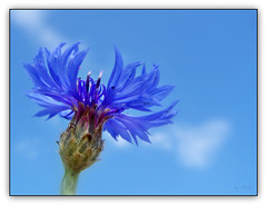 Kornblumenblau - Cornflower blue