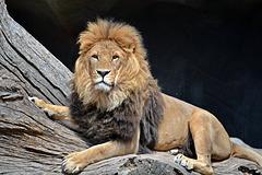 Der König der Löwen?