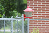HFF everyone :)   My Cardinal on our feeder,  but neighbor's fence :)))   I zoomed :))