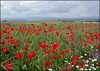 Poppies. Algete, Spain, May 2016.
