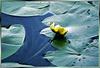 Gelbe Teichrose mit Gefährten...  ©UdoSm