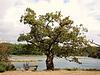 le vieux chêne  de la foret du pont st Maurice Clohars (29)