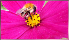 """Common carder bee """"speaks"""" to me...  ©UdoSm"""