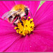Common carder bee. ©UdoSm