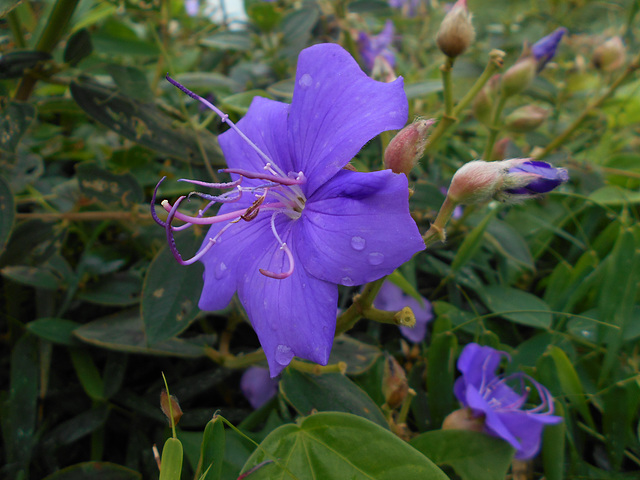 DSCN5308 - quaresmeira Tibouchina urvilleana, Melastomataceae