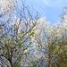 Blüten der 'Wild-Pflaume' in meinem Garten
