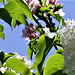 The white lilac entwining the apple blossom