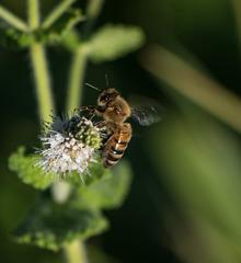 abeille sur menthe spitaca