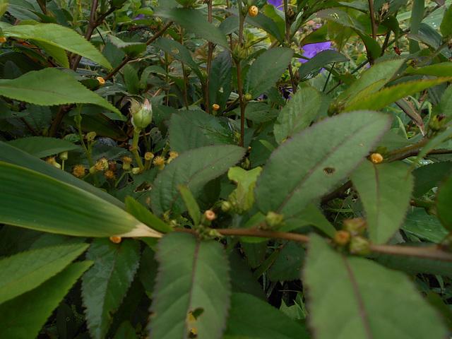 DSCN5309 - guanxuma ou barrela Sida planicaulis, Malvaceae
