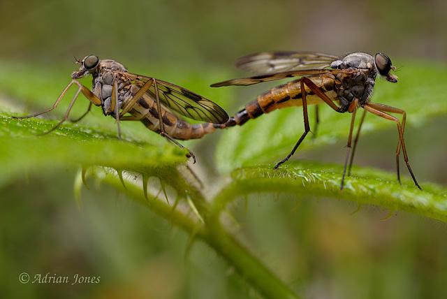 Rhagio scolopaceus mating pair.