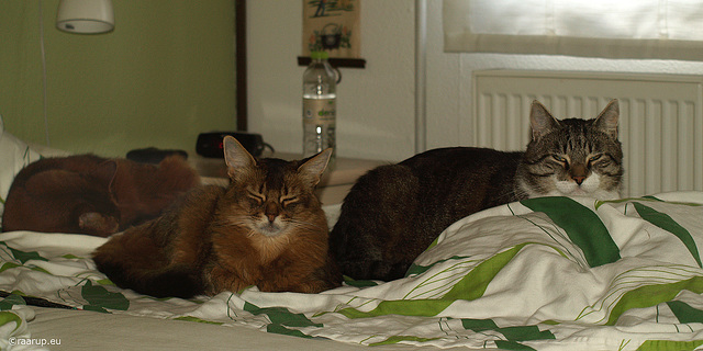 Three cats in our bed