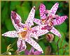 Krötenlilie - Tricyrtis hirta