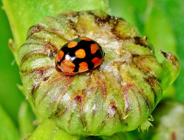 Ladybird. Adalia decempunctata variant