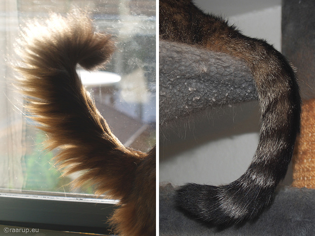 Two tails, thick and thin - for Happy Caturday