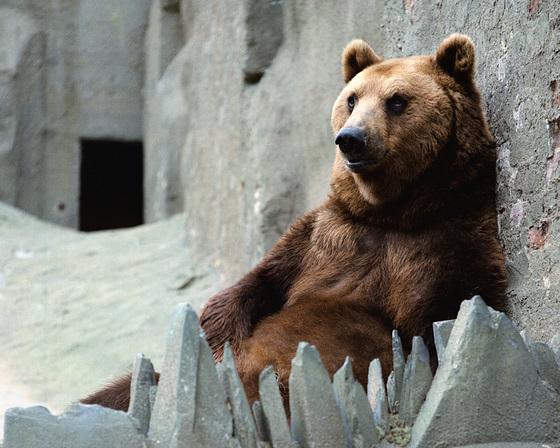 Reclining Brown Bear, London Zoo, 1980
