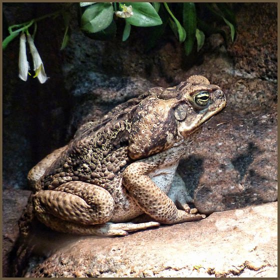 Marine or Cane toad
