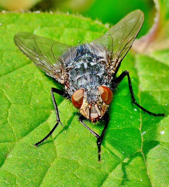 Bluebottle,Blow Fly. Calliphora vomitoria