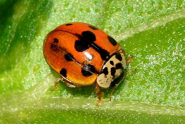 Ten-spot Ladybird. Adalia decempunctata